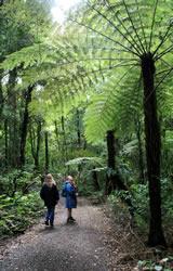 Tree Fern, Maungatautari Mountain, New Zealand