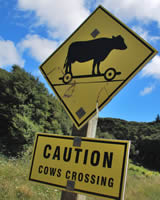 Caution Cows Crossing - Photographer: Roy Sinclair