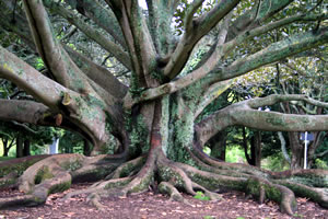 Auckland Tree in the Grounds of the Museum