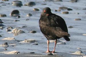 Variable Oystercatcher, Hokitika Beach, South Island, New Zealand Birds
