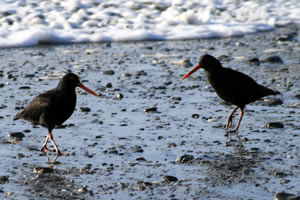 Oystercatcher, Birds on Hokitika Beach New Zealand