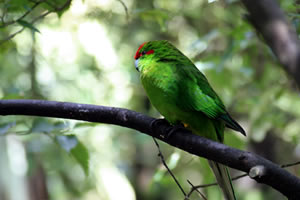 Red Crowned Kakariki Otorohanga Kiwi House and Native Bird Park
