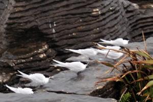 Sea birds at Pancake Rocks New Zealand South Island