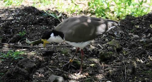 Otorohanga Native Bird Park, North Island, New Zealand Native Birds