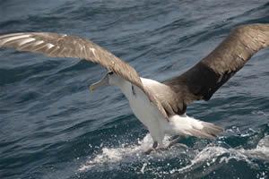 Albatross, South Island coast of New Zealand