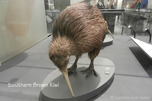 Southern Brown Kiwi / tokoeka. Apteryx australis. New Zealand