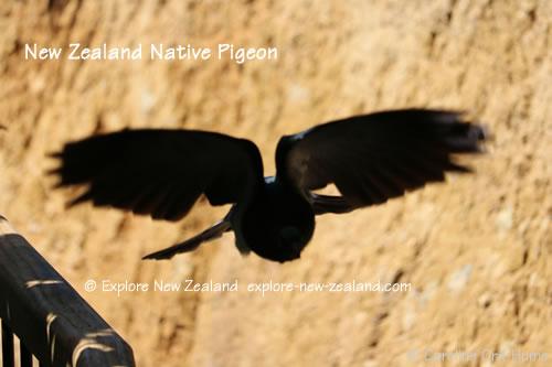 kererū New Zealand Native Pigeon Flying, Marlborough, South Island