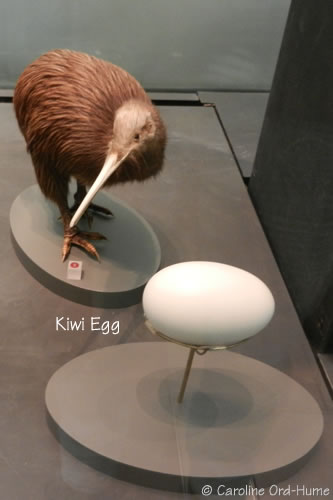 Brown Kiwi and Egg Specimen. Auckland War Memorial Museum, New Zealand