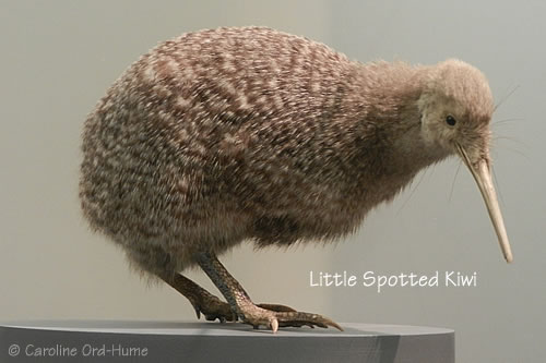Little Spotted Kiwi / kiwi, pukupuku. Apteryx owenii. New Zealand