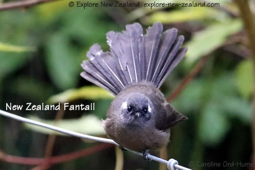 New Zealand Fantail, North Island fantail black morph with white marking behind eye