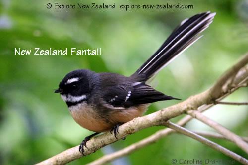 North Island Fantail pied morph, New Zealand Fantail Piwakawaka