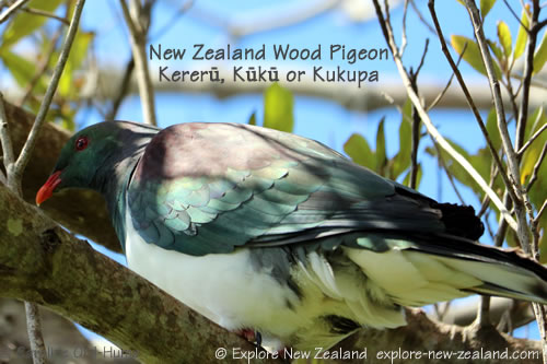 Kereru, kūkū or kūkupa - New Zealand Wood Pigeon, South Island