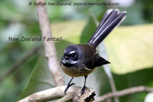 North Island fantail pied morph - New Zealand fantail on a branch