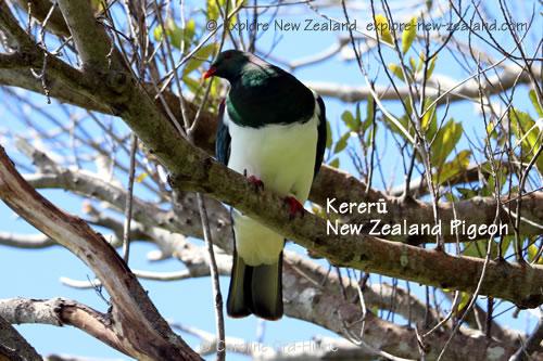 Kereru New Zealand Native Pigeon on Motuara Island Bird Sanctuary Reserve. kūkū, kūkupa