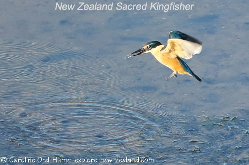 New Zealand Sacred Kingfisher That Just Dropped its Crab