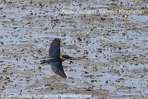 New Zealand Sacred Kingfisher in Flight, Hunting for Crabs in Mud
