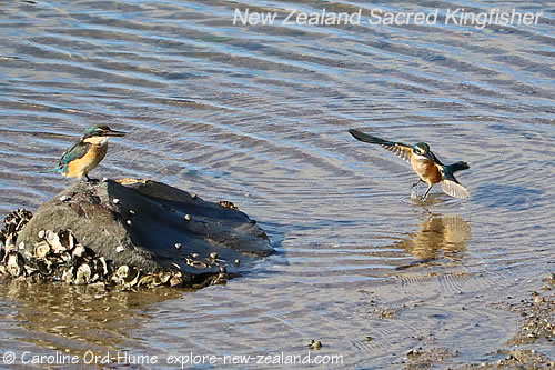 Two New Zealand Sacred Kingfisher Fishing in Saltwater