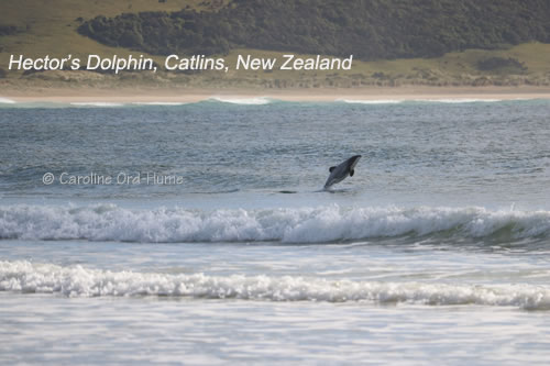 Hector's Dolphin Jumping out of the Water, Catlins, New Zealand