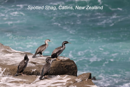 Four Spotted Shag on the Rocks at Porpoise Bay, Catlins, NZ