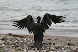 Cormorant, Black Shag drying wings on West Coast New Zealand