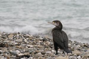 Cormorant New Zealand