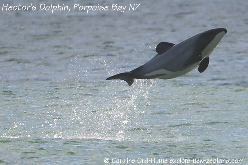 Hector's Dolphin Identification Markings and Dorsal Fin Shape - Jumping out of Water, Curio Bay, New Zealand