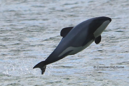 Hector's Dolphin jumping out of the water, Southland, South Island coast, New Zealand
