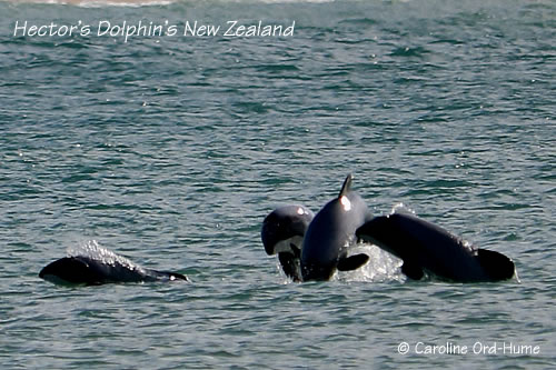 Four Hector's Dolphins Playing in Porpoise Bay, Catlins, New Zealand