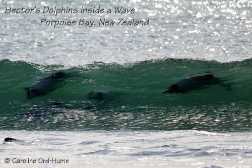 Hector's Dolphins Surfing Inside a Wave in Porpoise Bay, Catlins, New Zealand