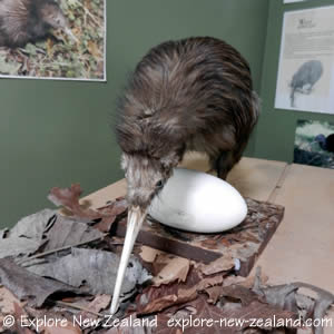 Kiwi Bird and Egg Picture