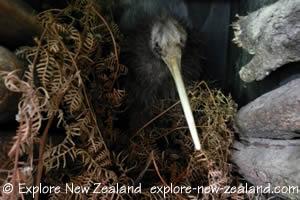 Kiwi Bird in a Nest