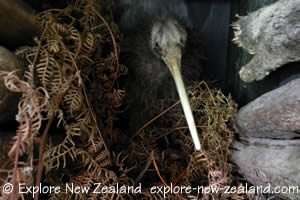 Kiwi Bird in a Nest, New Zealand