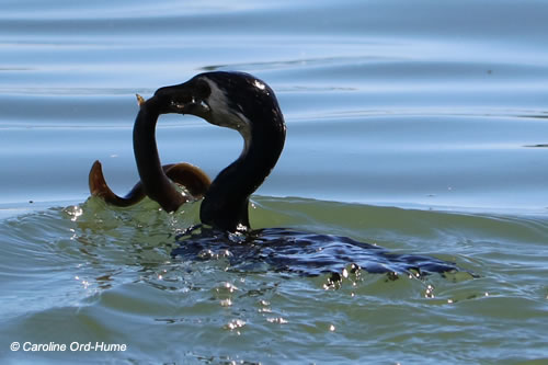 Little Shag, Kawau Paka (Phalacrocorax melanoleucos), catching and eating an eel in the estuary waters by Takitimu Drive Walkway, Tauranga, North Island, New Zealand