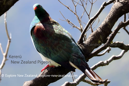 New Zealand Bird - Native Wood Pigeon - kererū, kūkū or kūkupa