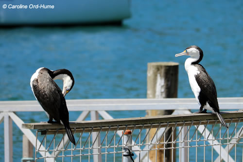 Two Adult Pied Shags  (Phalacrocorax varius) Preening at Picton Port Docks, Marlborough, South Island, New Zealand