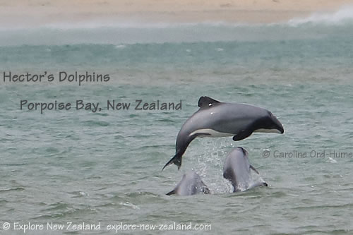 Hector's Dolphins playing aerial acrobatics in Porpoise Bay, Catlins, Southland, New Zealand