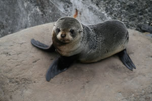 Young baby seal New Zealand