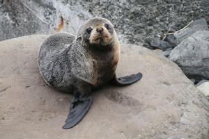 Seal New Zealand Animal