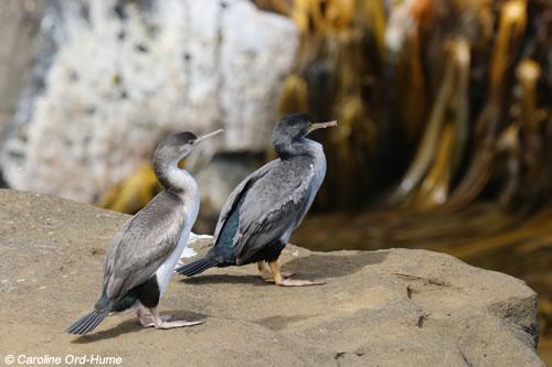 2 Spotted Shags Cormorants Species, Juvenile and Adult Shag Birds, Phalacrocoracidae Stictocarbo punctatus, Parekareka, Kawau tikitiki. Curio Bay Cliffs, Catlins, South Island, New Zealand
