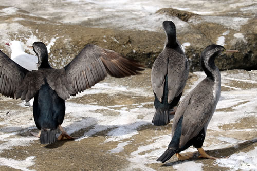 3 Spotted Shags Displaying Colours for Cormorant Species Identification, Porpoise Bay Headland, Catlins, South Island, New Zealand