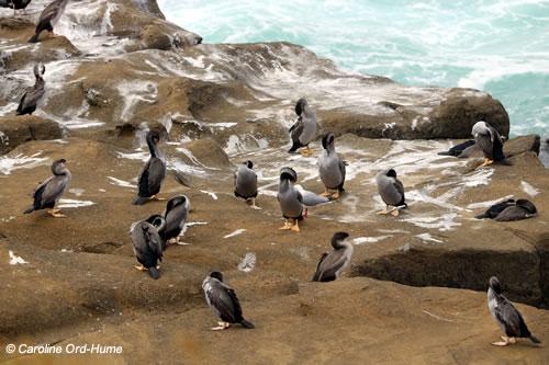 Colony of Spotted Shags Cormorants Preening, Juvenile and Adult Shag Birds, Phalacrocoracidae Stictocarbo punctatus, Parekareka, Kawau tikitiki. Curio Bay Cliffs, Catlins, South Island, New Zealand