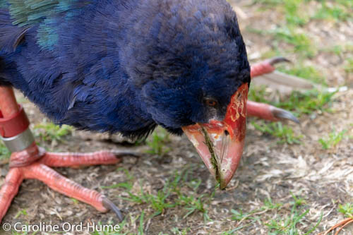 South Island Takahe native bird of New Zealand