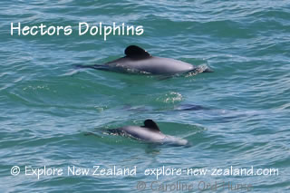 Hector's Dolphins, Punakaiki, Pancake Rocks, West Coast, South Island, New Zealand