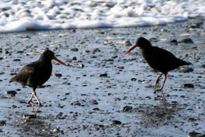 Oystercatcher, Birds on Hokitika Beach New Zealand
