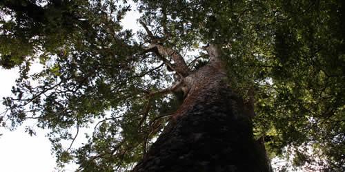 Kauri Tree Canopy New Zealand