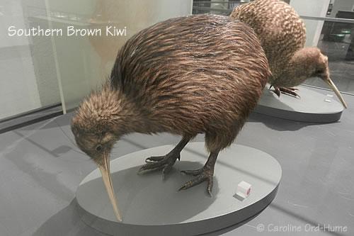 Little Spotted Kiwi / kiwi, pukupuku. Apteryx owenii. New Zealand