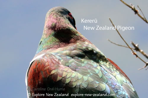 Colourful Feathers of New Zealand Native Pigeon, Kereru, kuku, kukupa