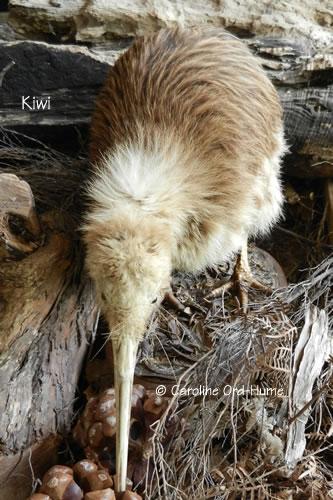 Kiwi Bird, North Island, New Zealand