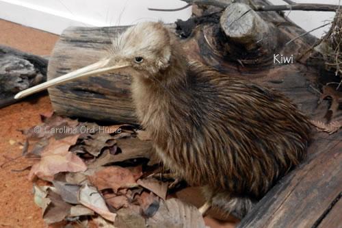 New Zealand Kiwi bird specimen at a Kiwi Sanctuary