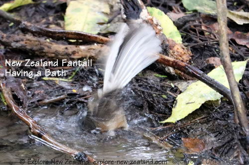 New Zealand Fantail having a bath in a stream - South Island pied morph